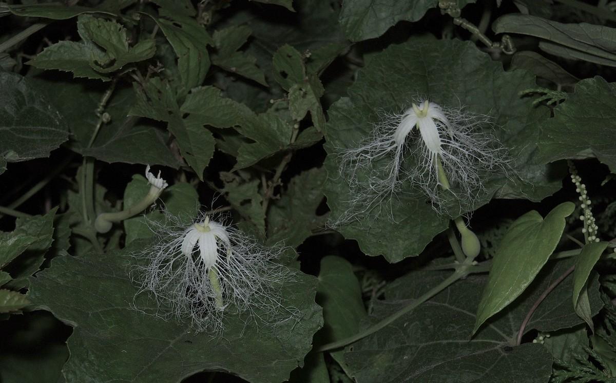カラスウリ 雌花