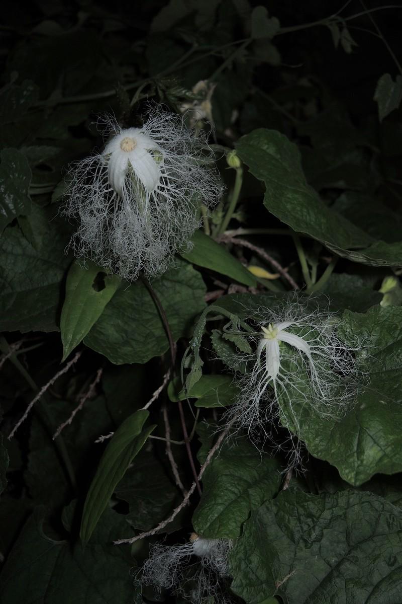 カラスウリ 雄株の雄花・雌株の雌花