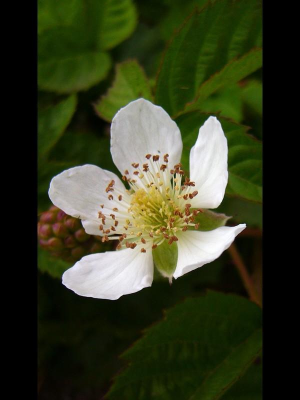 ボイセンベリー 花