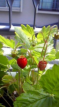 wildstrawberry2