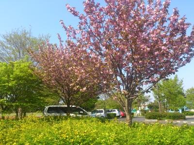 山吹と八重桜