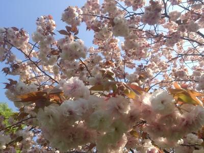 画面いっぱいの桜もち(爆)
