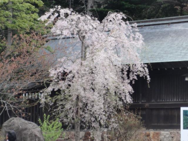 20120507北海道神宮桜