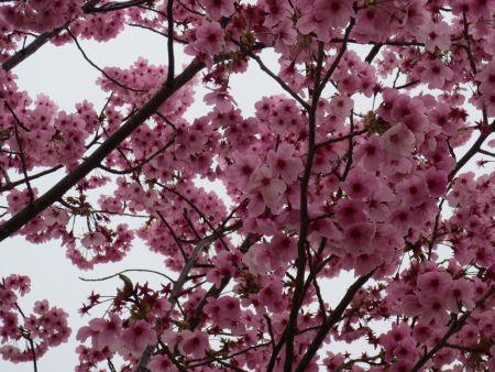 2013-03-26-02陽光桜