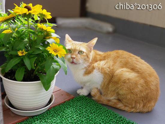 chiba13-06-247x.jpg
