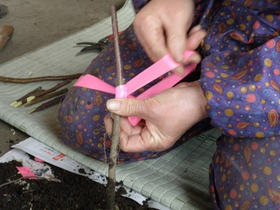 接ぎ木して作ります