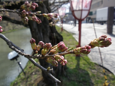 4/25 桜の様子