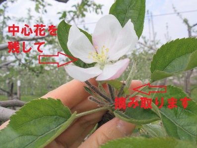 りんごの花摘み
