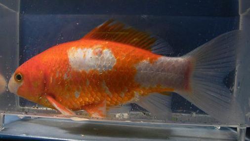 金魚 2013--04-06 (1)