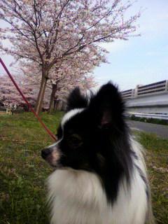 2013年桜とリリー