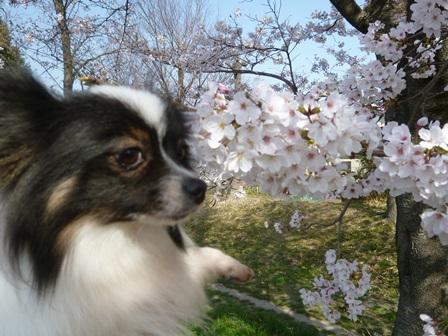 2013年3月30日 桜とリリー