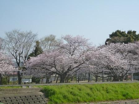 2013年3月30日 桜