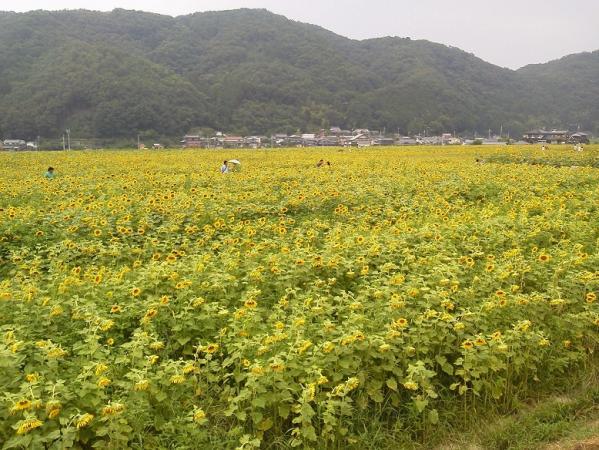 201307himawari1.jpg