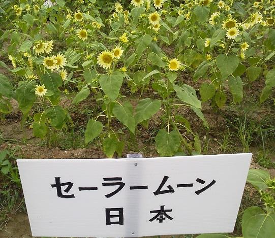 201307himawari6.jpg