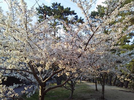 2013sakura.png