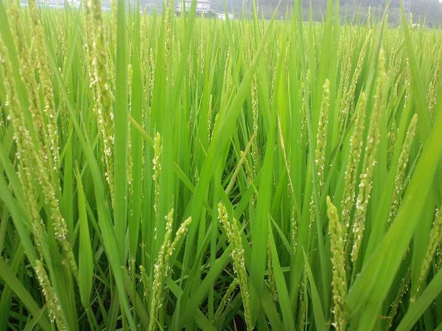 久我農園稲