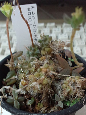 20130731Jan12texanum.jpg