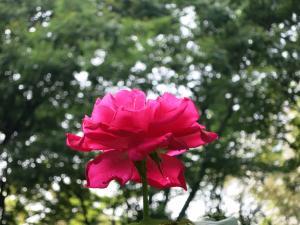 rose7/10