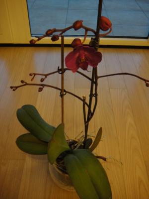3年目の胡蝶蘭