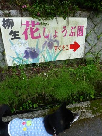 柳生花しょうぶ園4