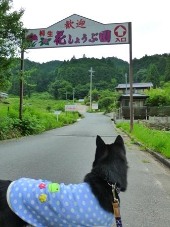柳生花しょうぶ園5
