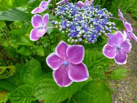 柳生花しょうぶ園23