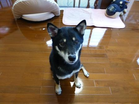 愛犬の床施工12