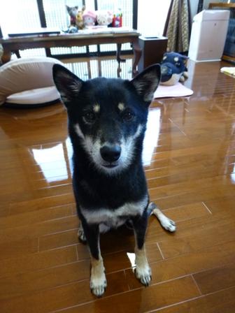 愛犬の床施工14