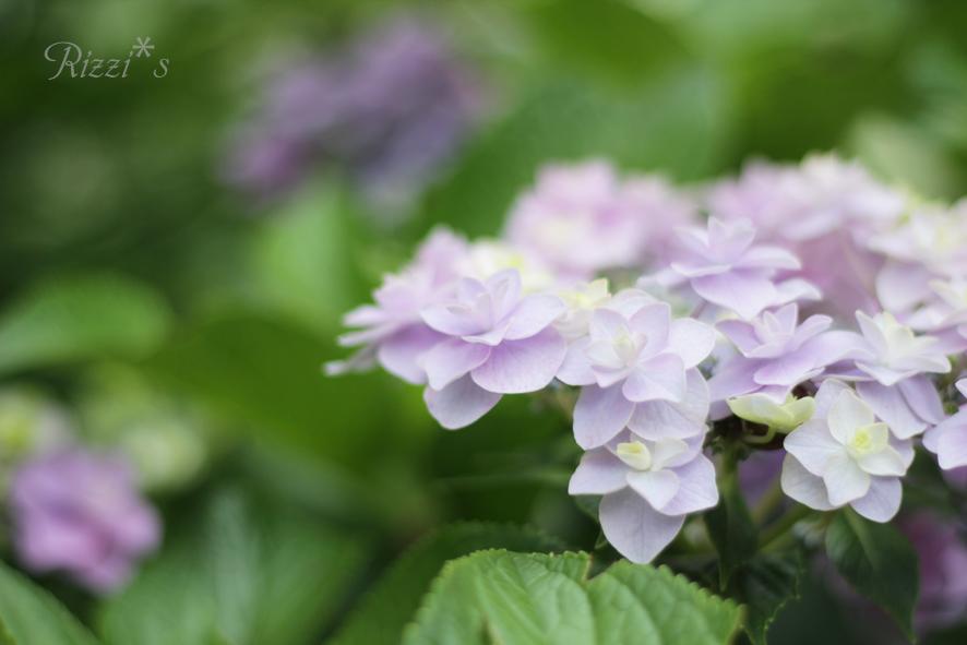 紫陽花 20130630-03