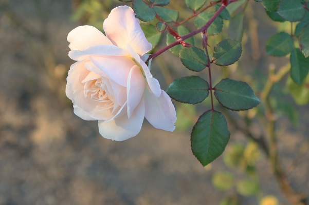 IMG薔薇の花p