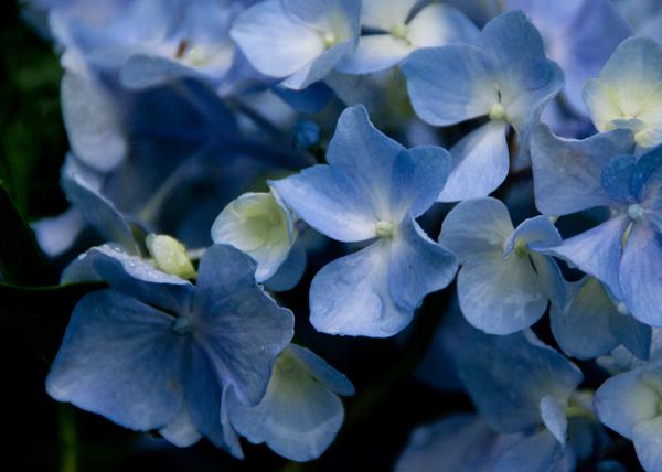 雨紫陽花1
