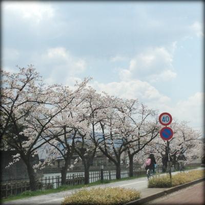 鶴ヶ城、西側のお堀沿い(国道沿い)の桜並木。