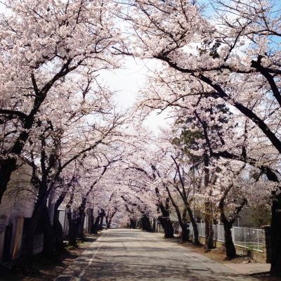小田山忠霊堂の桜並木_2013/04/22
