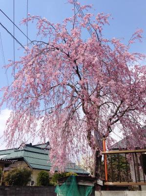 小田山忠霊堂の近所の枝垂れ桜_2013/04/22