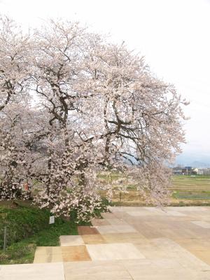 石部桜_2013/04/20