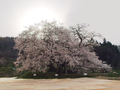 石部桜<br />_2013/04/20