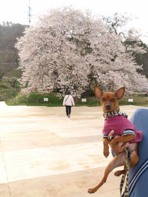 石部桜&アクア_2013/04/20