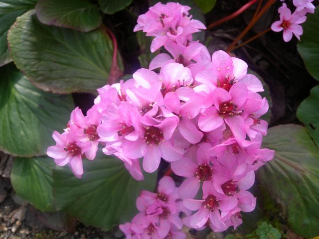 フキの花2