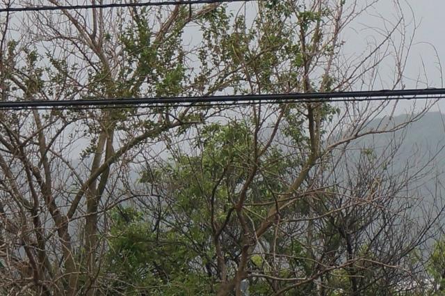 ホトトギスの鳴く木1