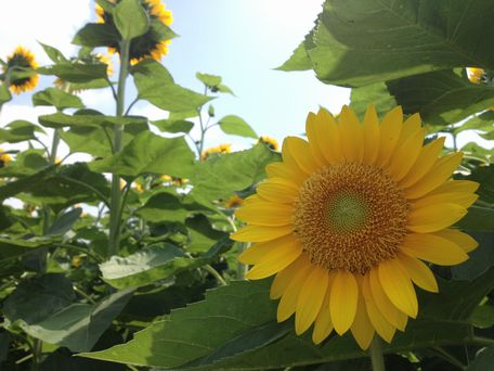 20130815sunflower1.jpg