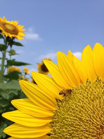 20130815sunflower2.jpg