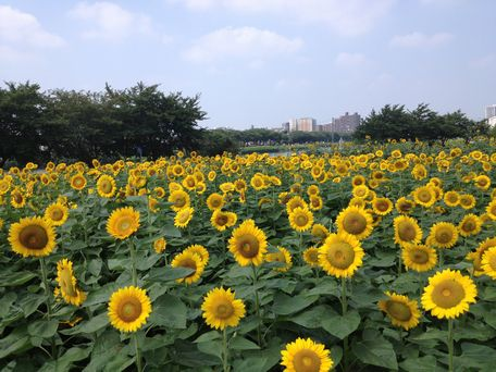 20130815sunflower3.jpg