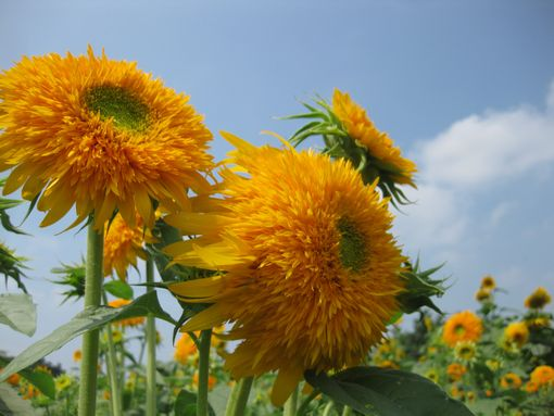 20130815sunflower4.jpg