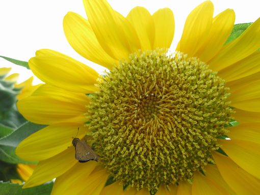 20130815sunflower6.jpg