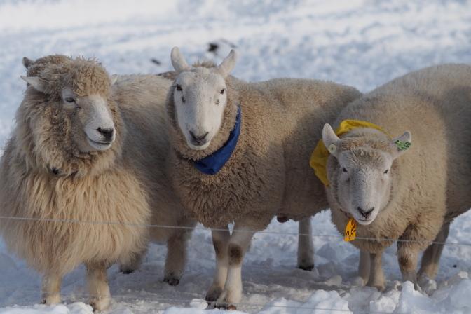 牧羊犬に追われる羊
