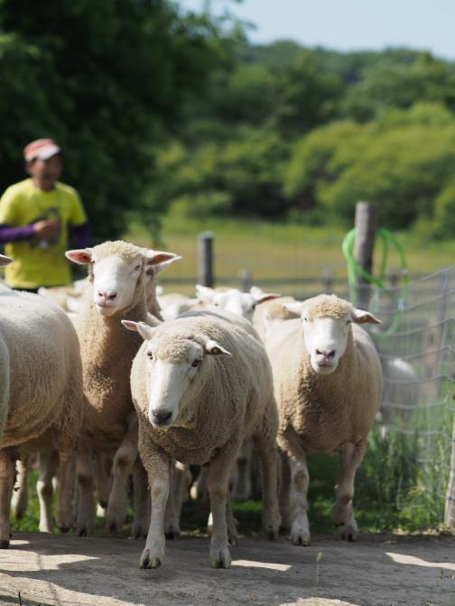 追い立てられた羊が観覧席を取り囲む