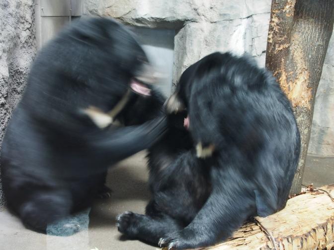 ヒマラヤグマの喧嘩
