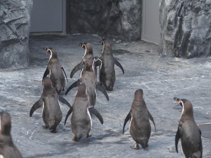 ペンギン、まっしぐら