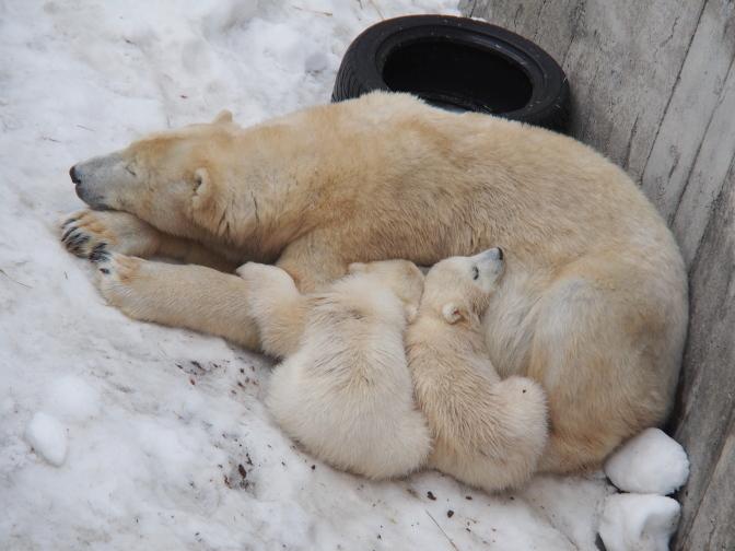 ホッキョクグマの親子は昼寝中