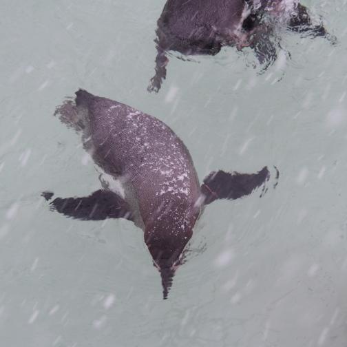 泳いでいるペンギンの背中にも雪が積もる